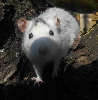 Donne rats Dscn4815