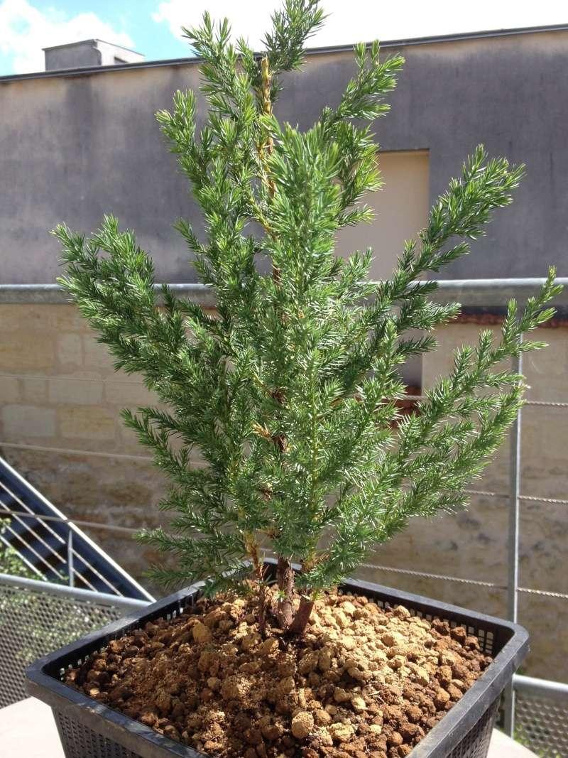 Juniperus chinensis stricta Img_1145