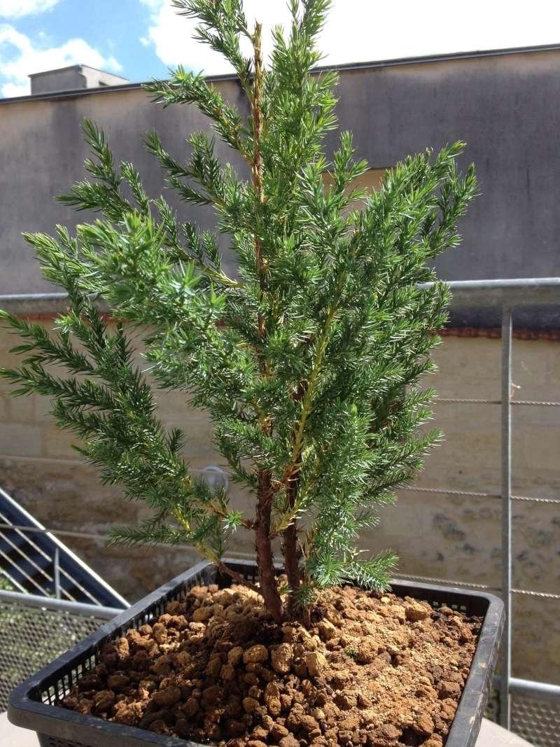 Juniperus chinensis stricta Img_1146