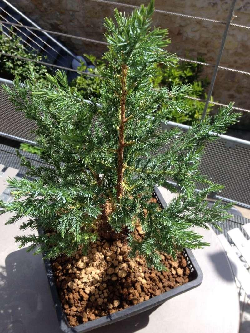 Juniperus chinensis stricta Img_1148