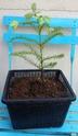 Sequoia sempervirens Img_1135