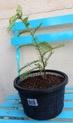 Sequoia sempervirens Img_1137