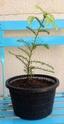 Sequoia sempervirens Img_1138