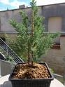 Juniperus chinensis stricta Img_1139