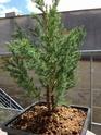 Juniperus chinensis stricta Img_1141