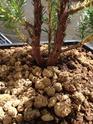 Juniperus chinensis stricta Img_1142