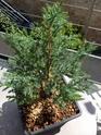 Juniperus chinensis stricta Img_1143