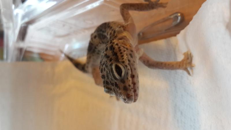 Gecko Leopard 20150419