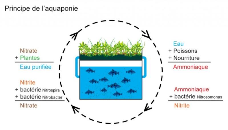 Semis de Gossypium herbaceum (coton) et aquaponie Aquapo10