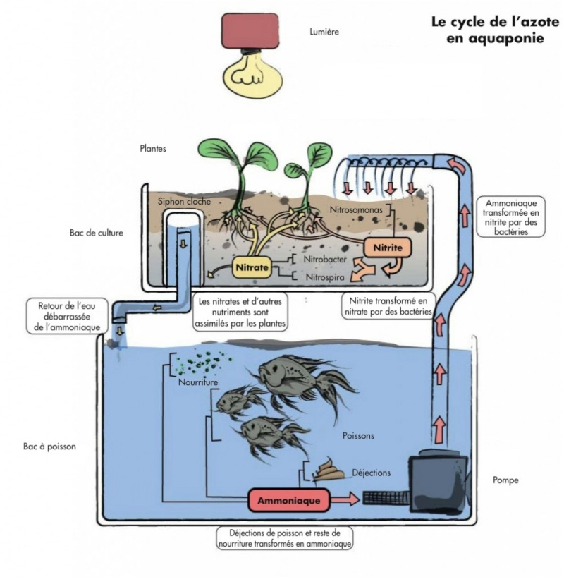 Semis de Gossypium herbaceum (coton) et aquaponie Cycle-10