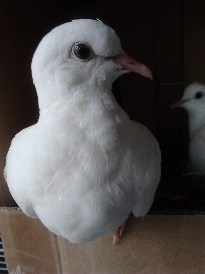 Donne jeune colombe blanche (femelle) 10245411