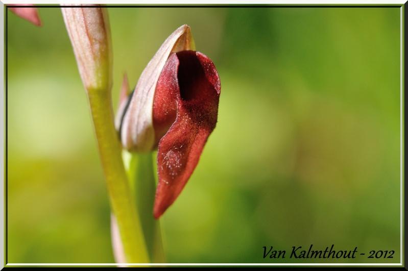 Serapias lingua × parviflora (× semilingua) Hyb_li12