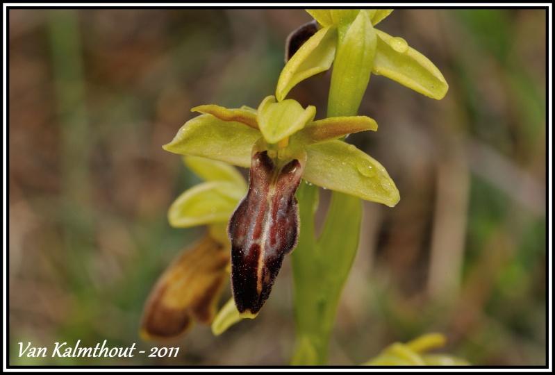 Ophrys forestieri X marzuola Marzuo10