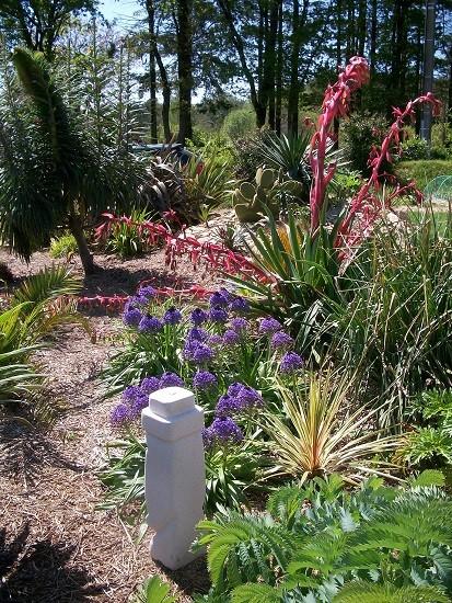 Floraison de mon Beschorneria Mylang11