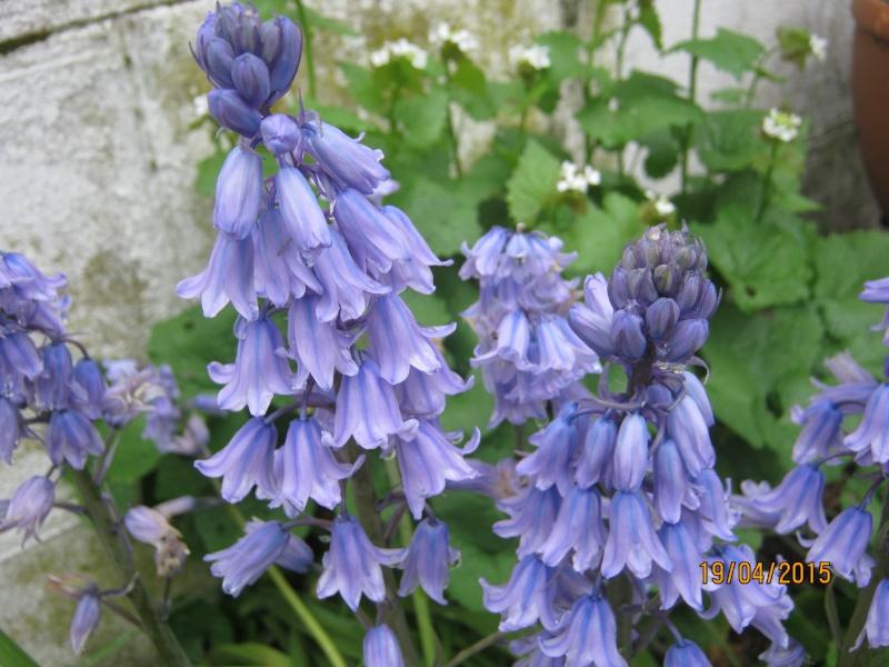 qui connait ? > Hyacinthoides hispanica Img_1812