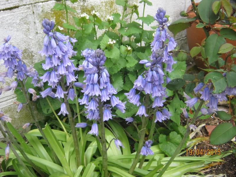 qui connait ? > Hyacinthoides hispanica Img_1813