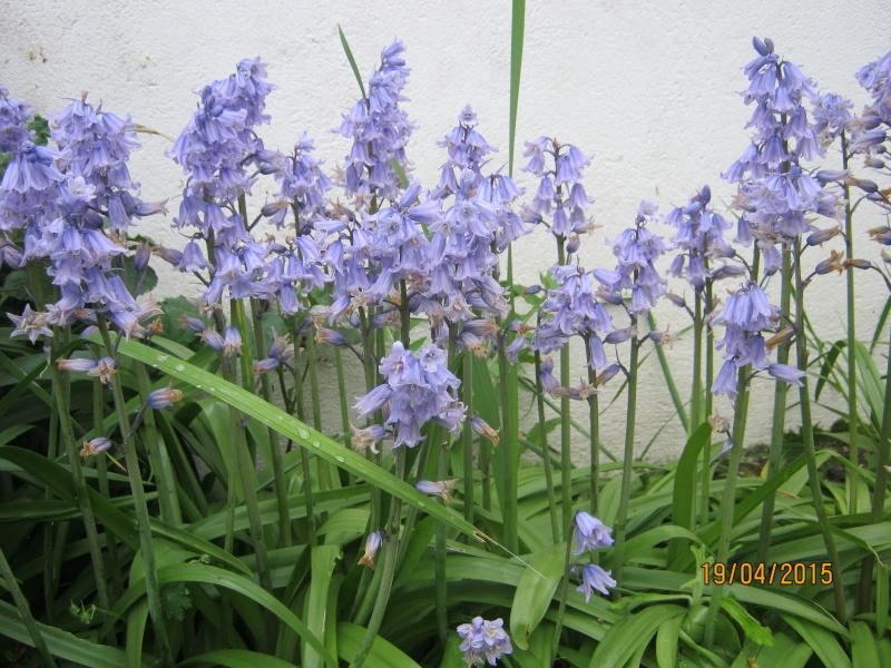 qui connait ? > Hyacinthoides hispanica Img_1814