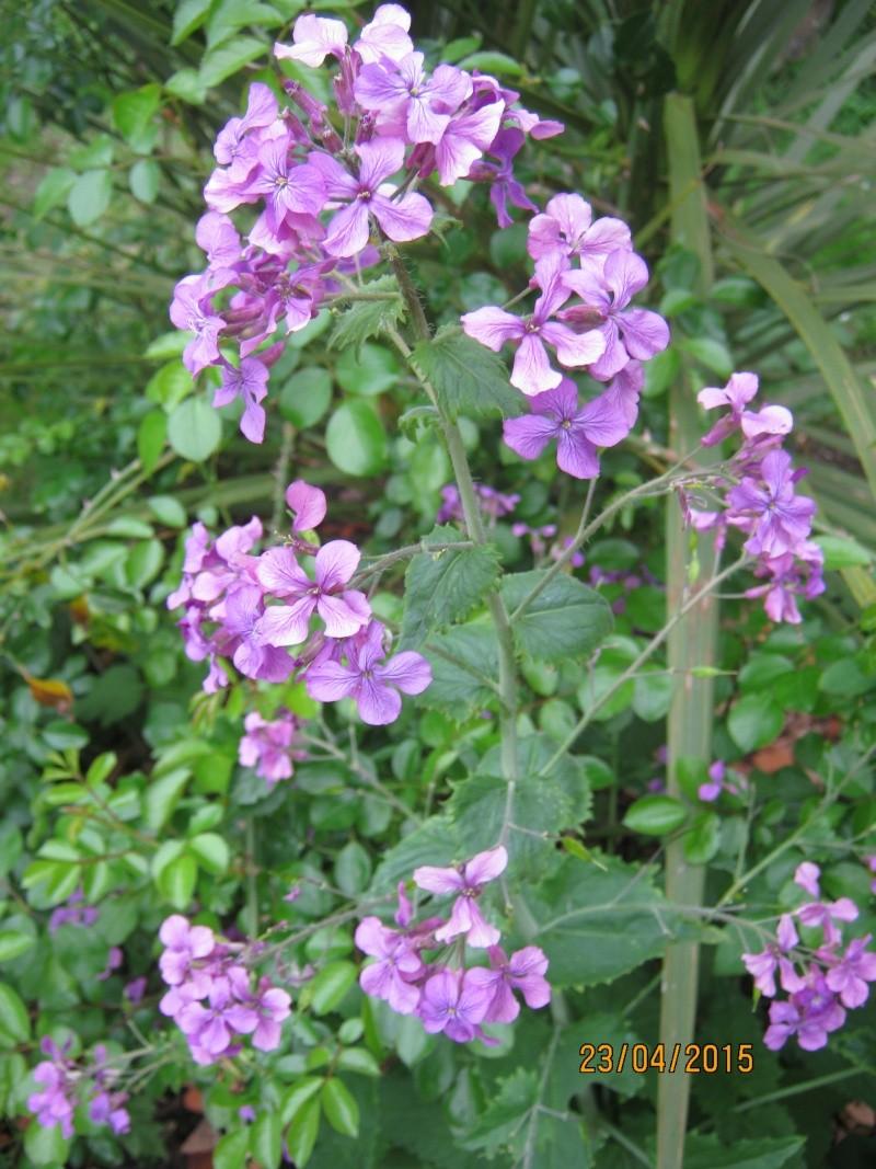 qui connait ? > Lunaria annua Img_1823