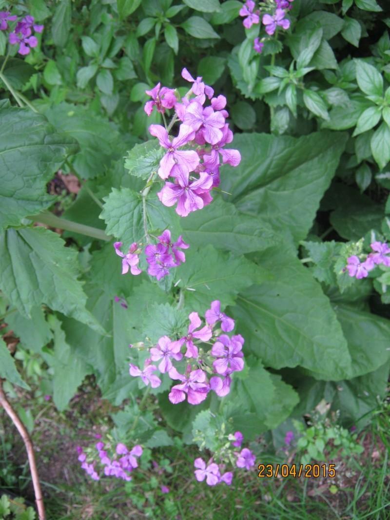 qui connait ? > Lunaria annua Img_1824