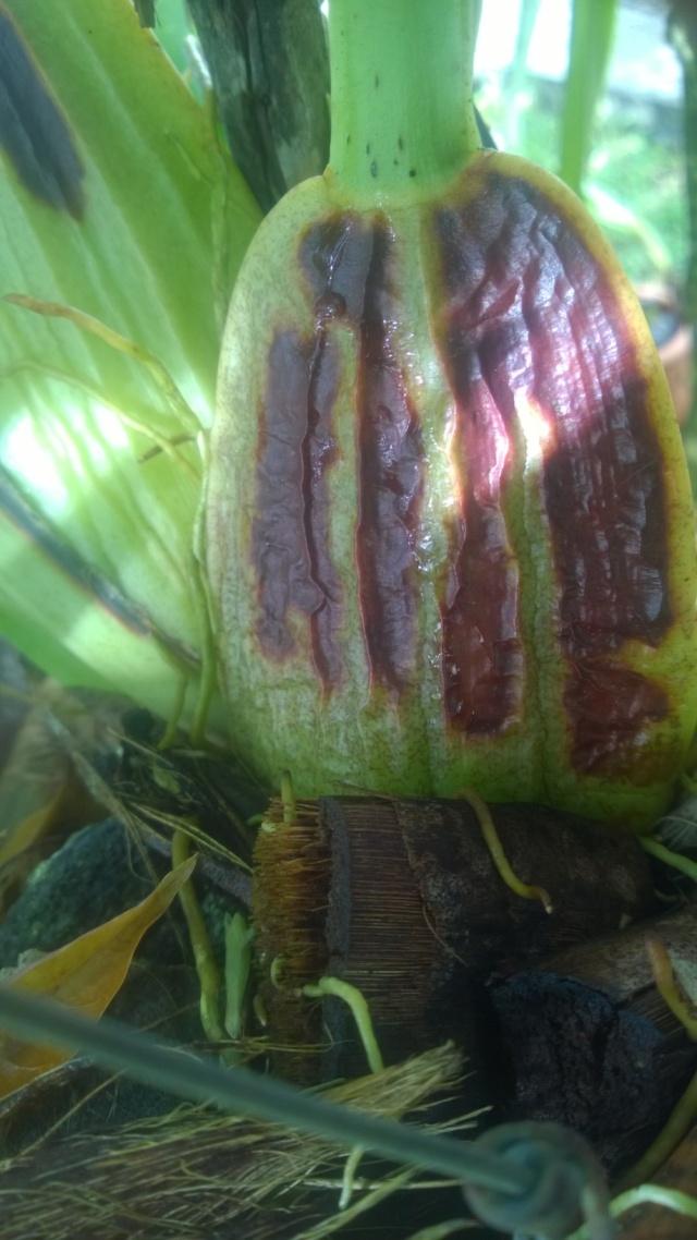 Orchidée malade Wp_20117