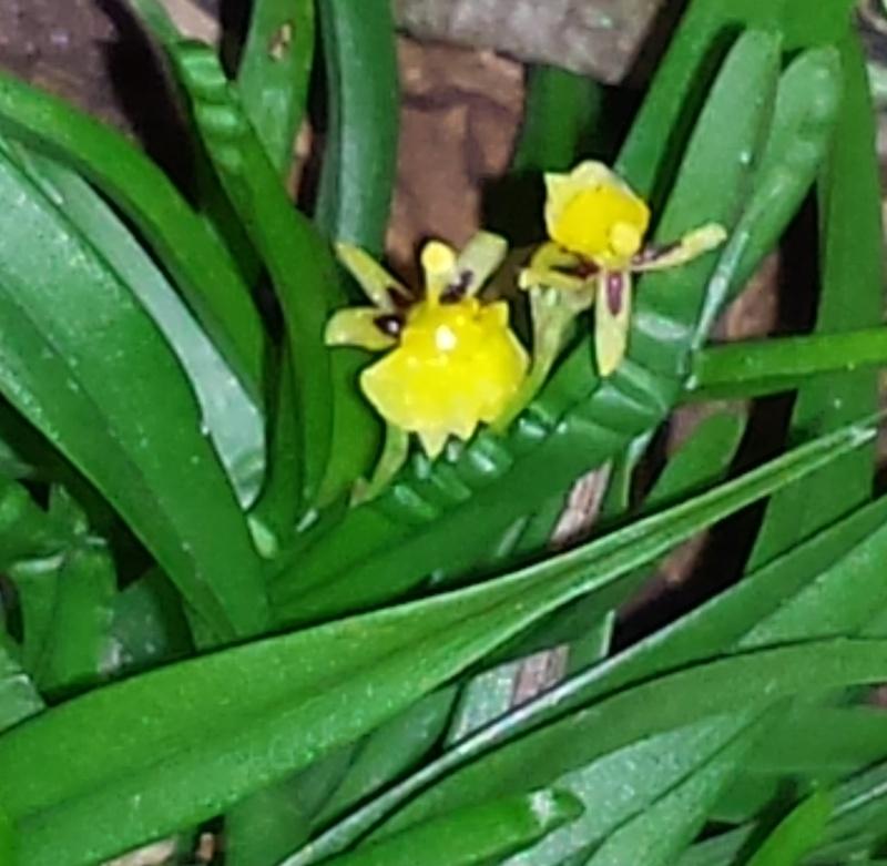 Büroorchideen Sigmat10