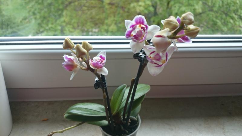 Phalaenopsis Mutation Phalae10