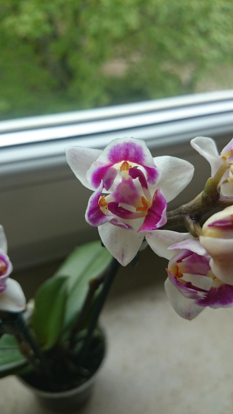 Phalaenopsis Mutation Phalae11