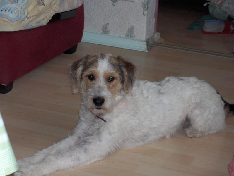 Voici Filou : fox terrier croisé teckel Hpim1111