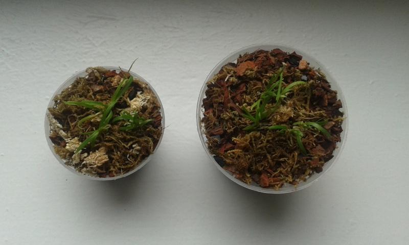 HILFE zu Stern von Madagaskar (Angraecum sesquipedale) Probleme mit Jungpflanzen! 20150413