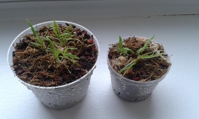 HILFE zu Stern von Madagaskar (Angraecum sesquipedale) Probleme mit Jungpflanzen! 20150510
