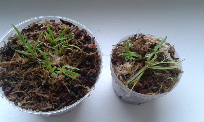 HILFE zu Stern von Madagaskar (Angraecum sesquipedale) Probleme mit Jungpflanzen! 20150511