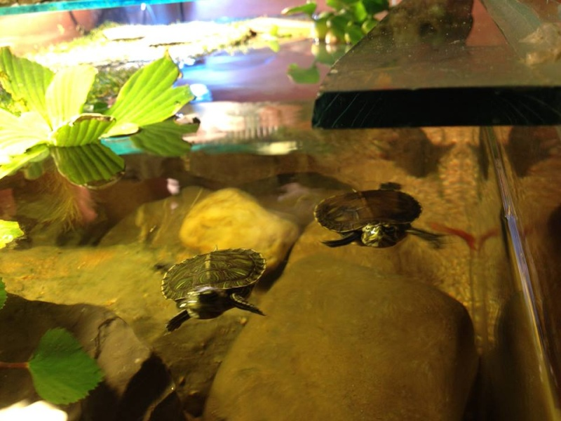 Tortues trachemys x2 - Jour 1 . 21-05-10