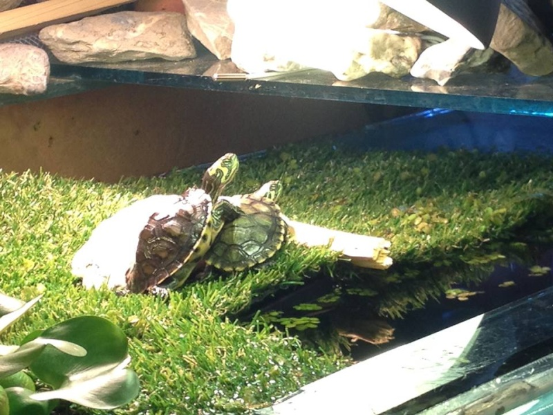 Tortues trachemys x2 - Jour 1 . - Page 2 31-05-11