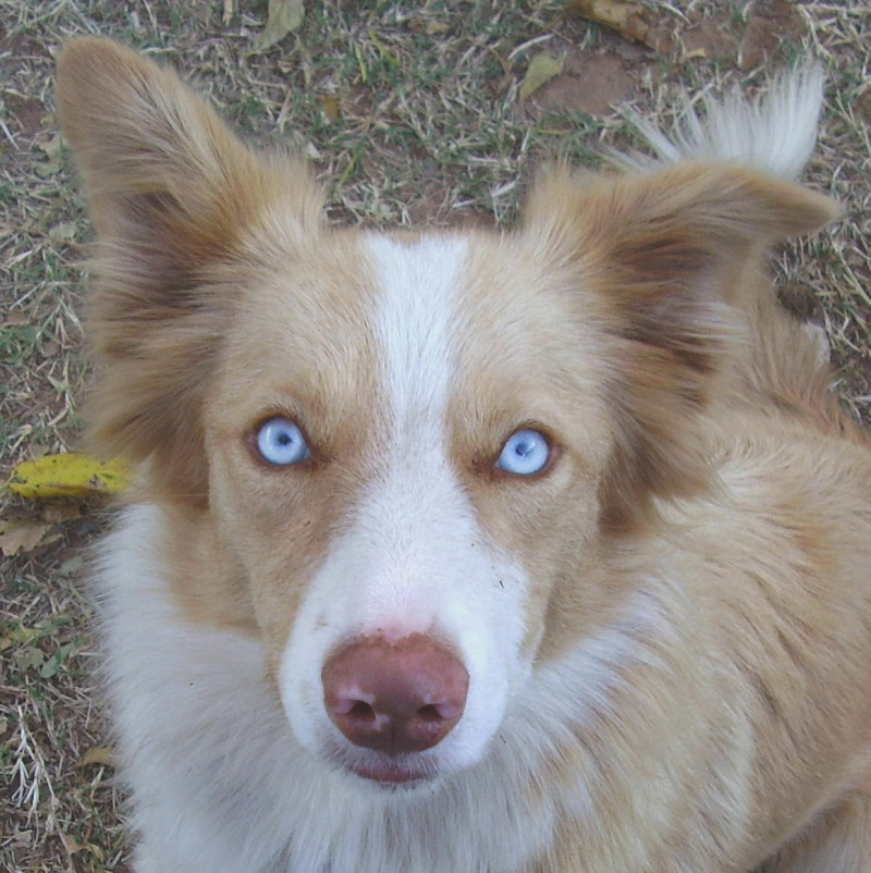 Border Collie Sable ou Rouge Australien ? Vision10