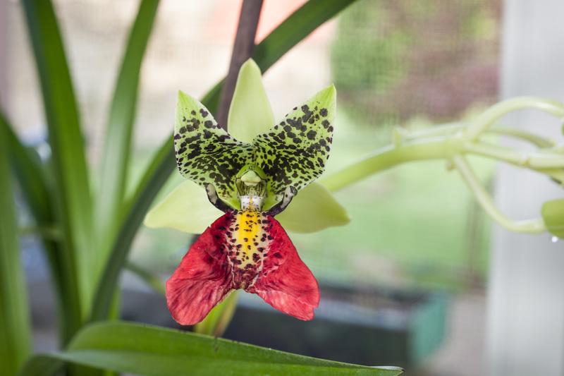 Erstblüte meiner Cymbidiella rhodocheila (pardalina) Cymbid13