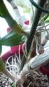 Dendrobium nobile (ich nehme an Hybride) P1080611