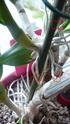 Dendrobium nobile (ich nehme an Hybride) P1080612