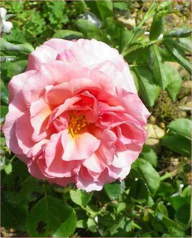 Rosa 'Aloha' !!! - Page 2 05052015