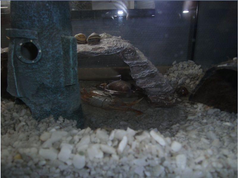 mue d'un crabe cardisoma armatum Mue_le11