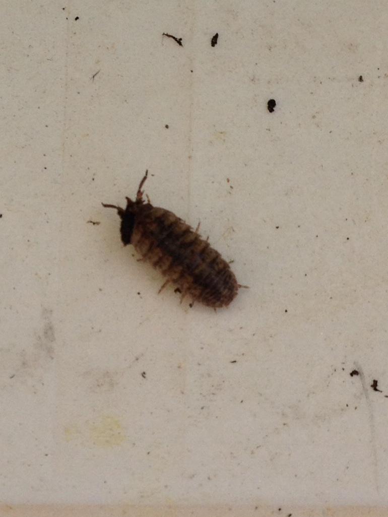 Quel est cet insecte qui mangent toutes mes fraises ? Photo_14