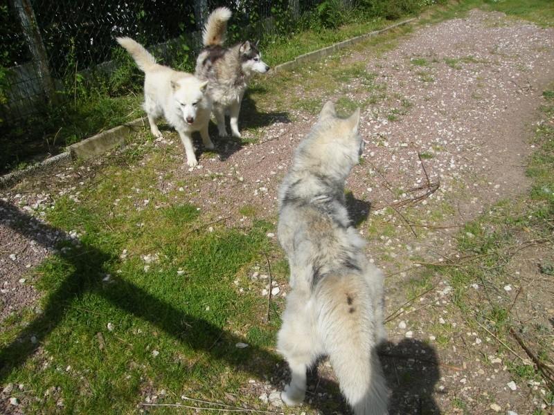 HELLO et HOOPS 2 femelles huskies 3 ans PART03 ADOPTEES - Page 2 Dscf2010