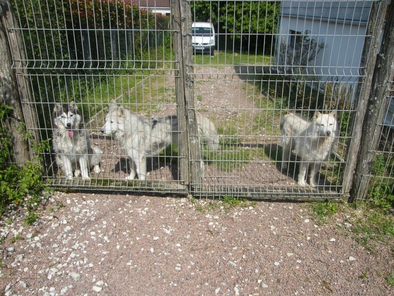 HELLO et HOOPS 2 femelles huskies 3 ans PART03 ADOPTEES - Page 2 Dscf2013