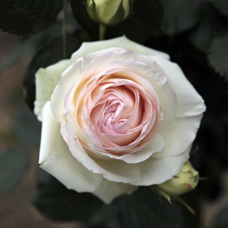 Rose Palais Royal de Meilland _mg_5811