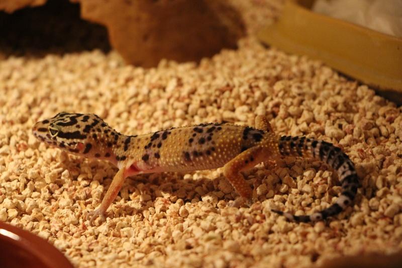 Gecko leo tout maigre Gecko_13