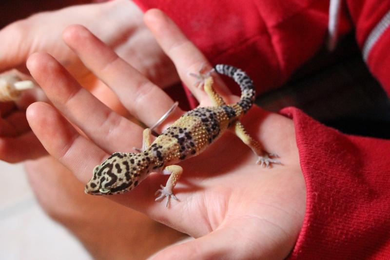 Gecko leo tout maigre Gecko_14