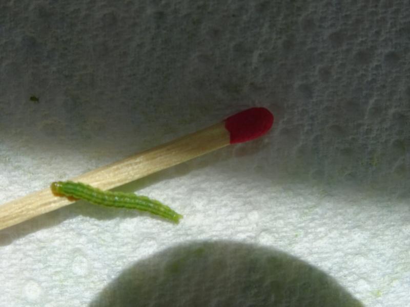 chenilles trouvées  sur fenouil il y a une semaine Chenil12