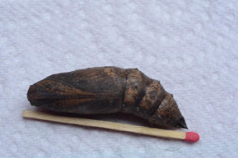 cocon trouvé dans la terre [Deilephila elpenor] Cocon_10