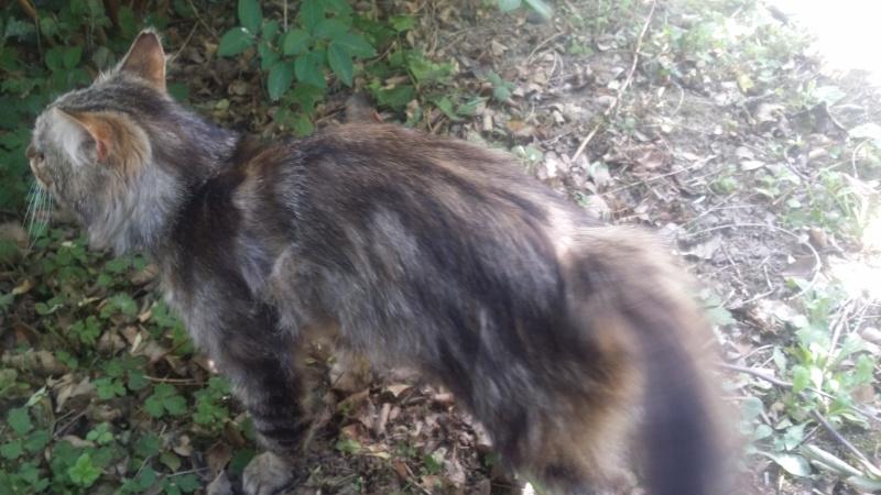 Trouver chat tigré angora beauzelle 20150512