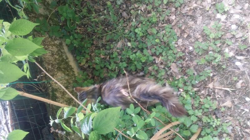 Trouver chat tigré angora beauzelle 20150524