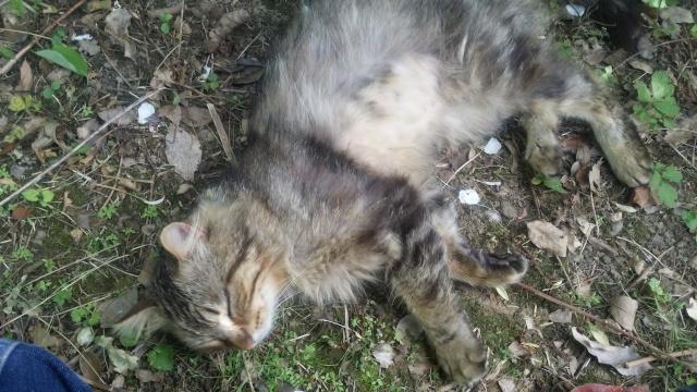 Trouver chat tigré angora beauzelle 20150525